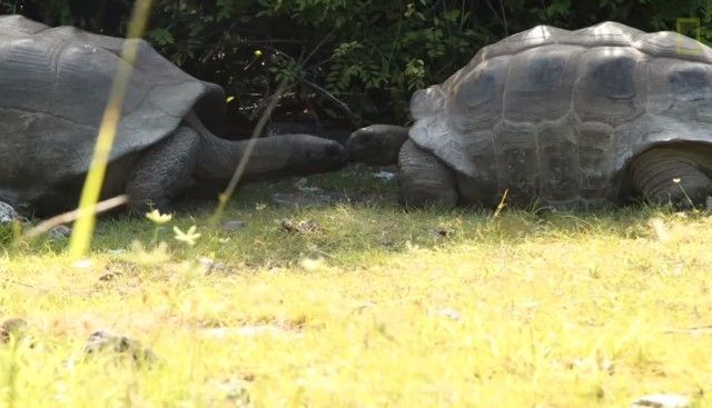 matingtortoises2_e
