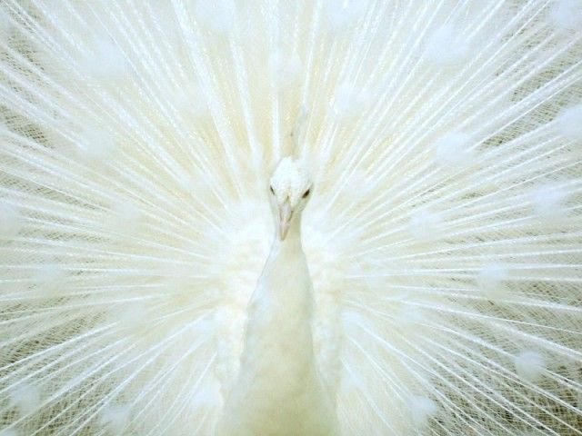 white-peacock-beautiful_e