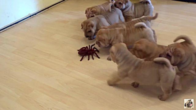 puppiesvsspider1