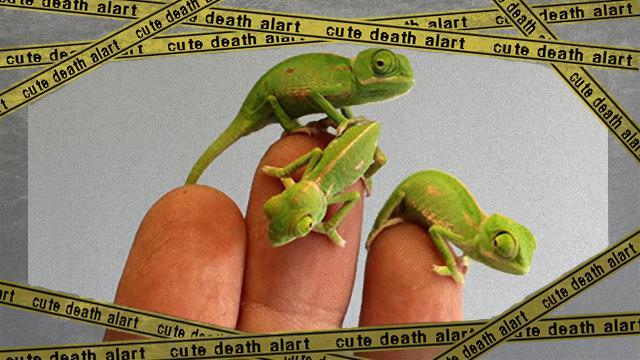 chameleon-10_e-frame