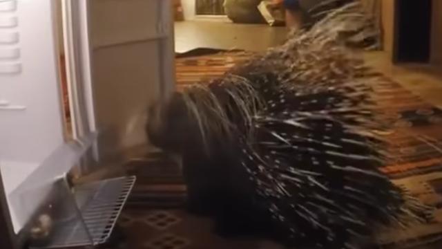 porcupine-4_e