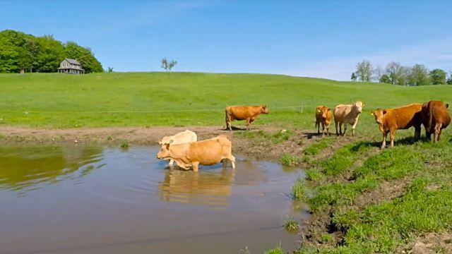 cowsmom1