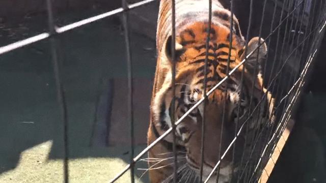 tiger-2_e