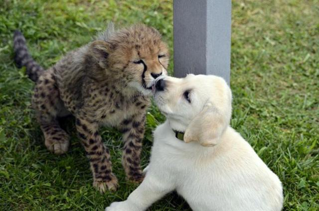 cheetah-2 [www.imagesplitter.net]