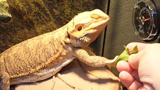 lizards4
