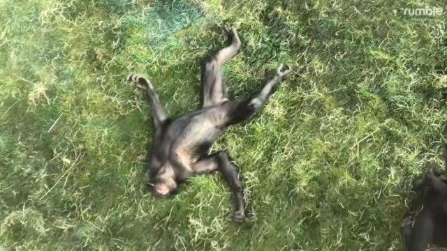 bonobo3_e