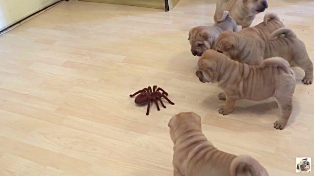puppiesvsspider3