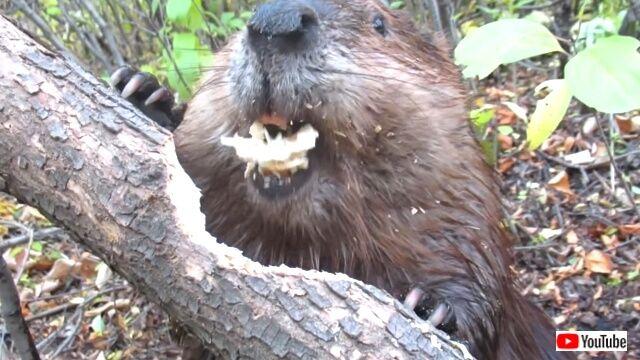 beaver5_640