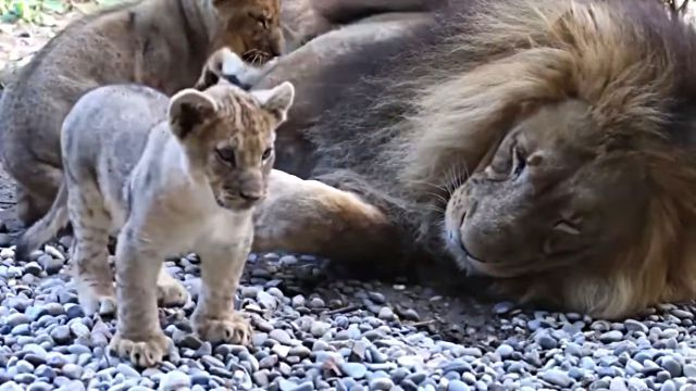 liondaddy1