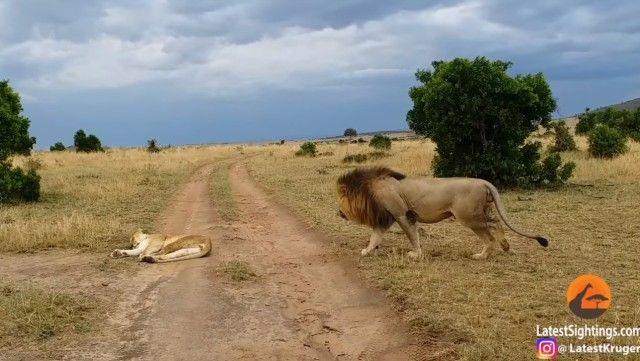 lioness4_e