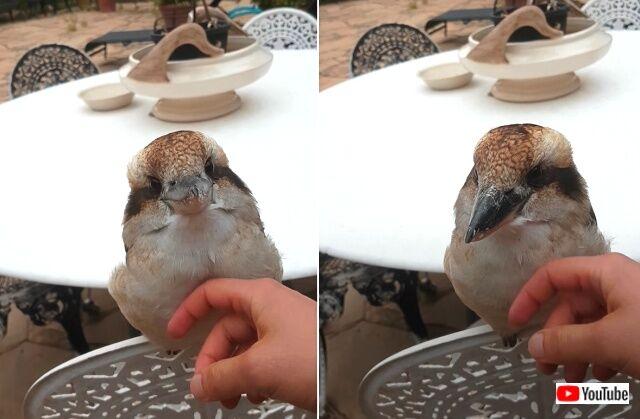 kookaburras3_640