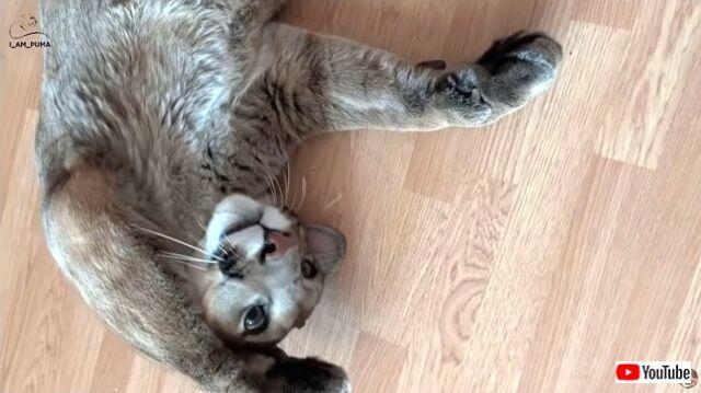 ペットのピューマはもしや子猫だったのか?メッシくんのごろにゃ~んが可愛すぎる件
