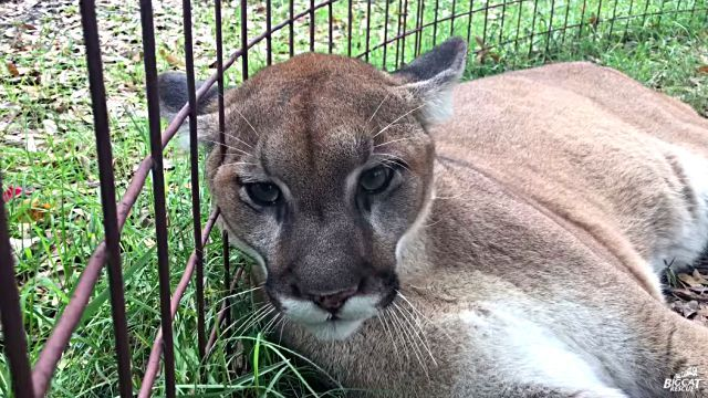 cougar6