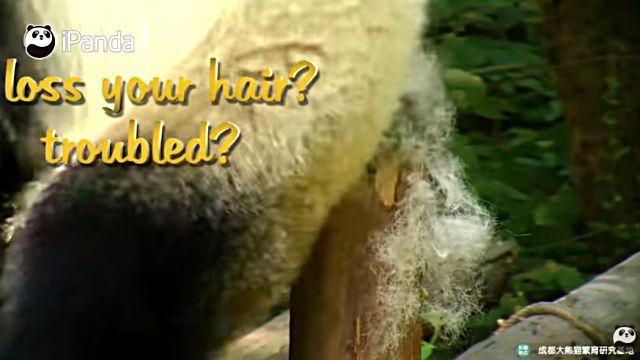 hairpanda3
