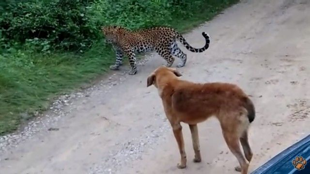 leopardvsdog3_e
