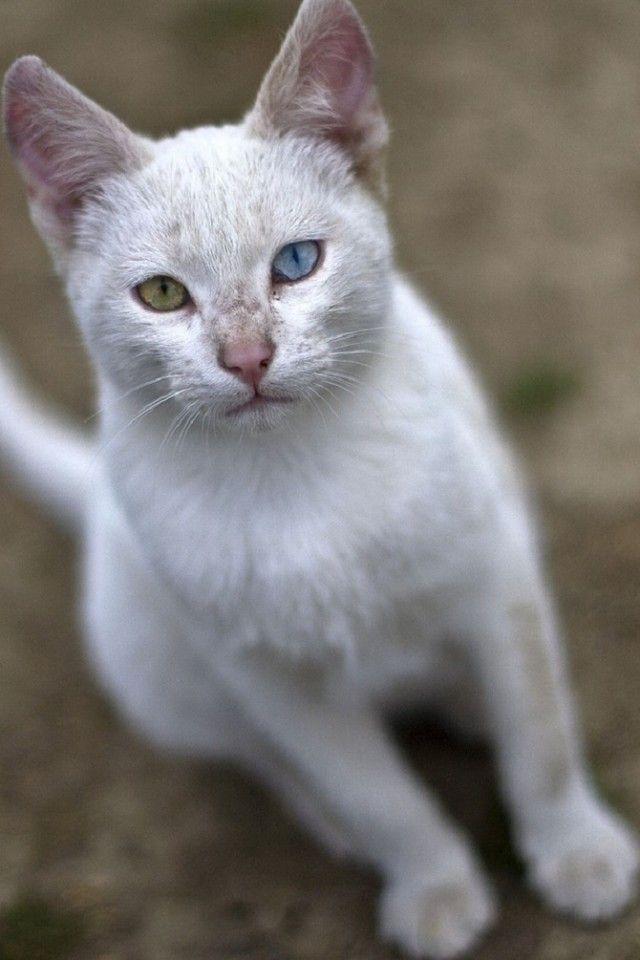 Heterochromic-Eyed-Cat-6_e