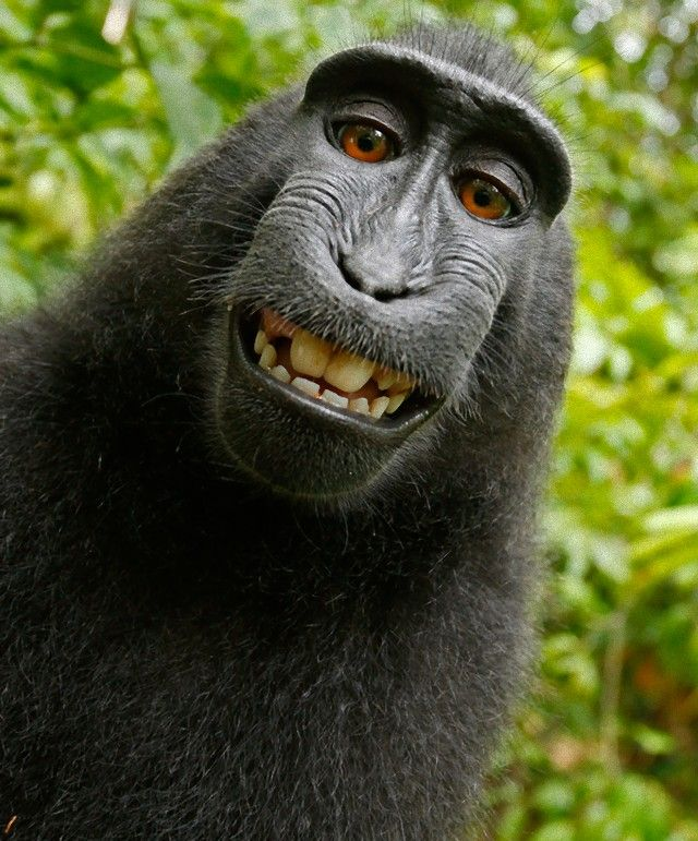 Macaques-monkey-self-portrait_e