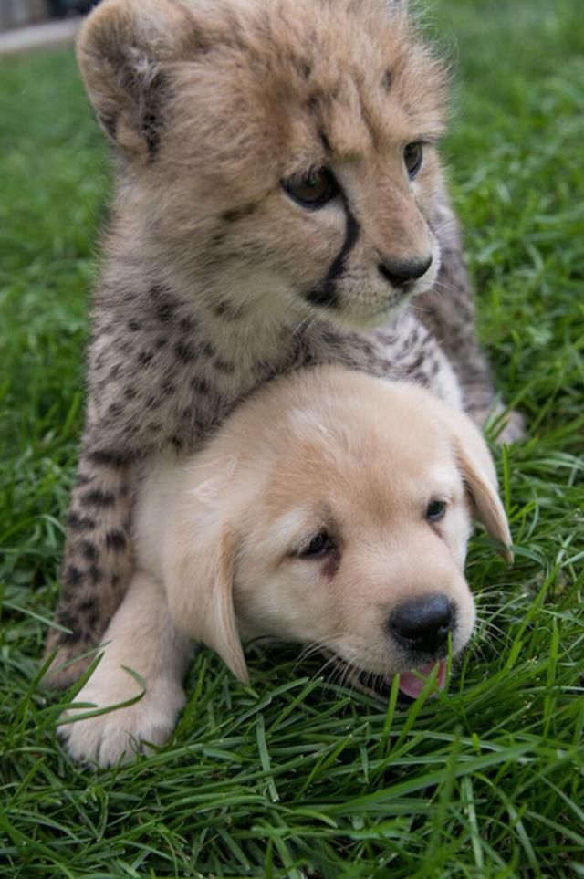 cheetah-3 [www.imagesplitter.net]