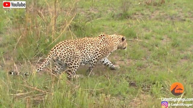 cheetahnleopard5_640
