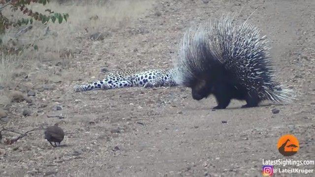 porcupinenleopard6_e