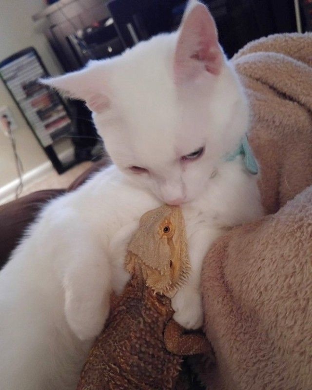 01-bearded-dragon-cat-friendship-664x830_e