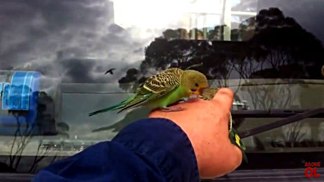 wildbudgies2