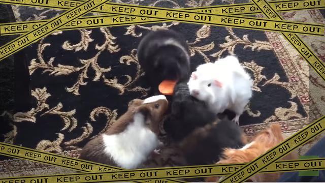guineapig-f [www-frame