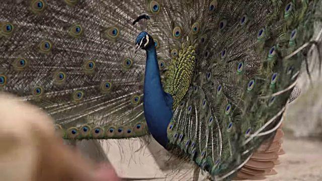 peacocknchicken7