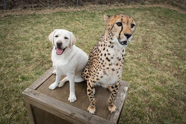 cheetah-6 [www.imagesplitter.net]