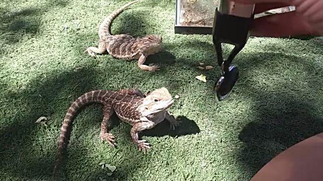 lizards3