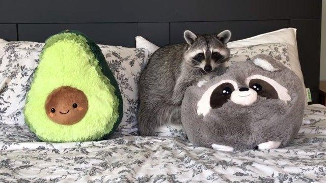 raccoonpillow0_e