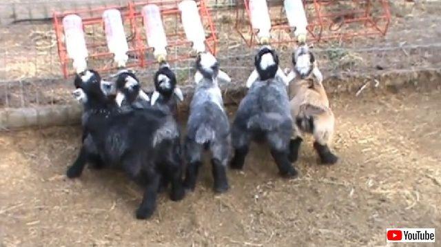 goatbabies2_batch