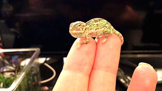 chameleonbaby4