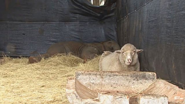 sheepnelephant6