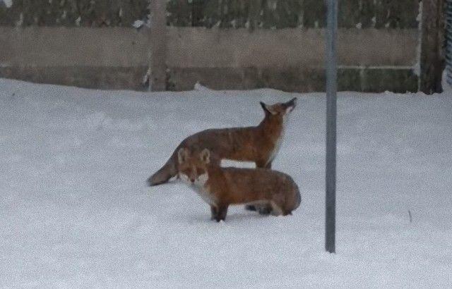 foxinthegarden6_e