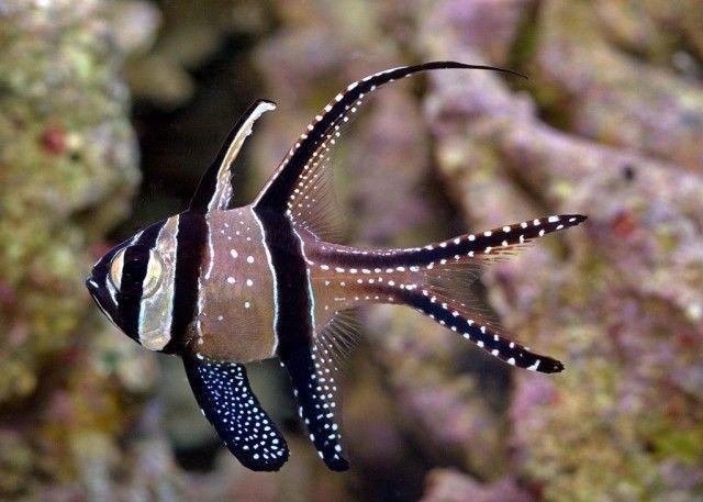 Banggai-Cardinalfish_e