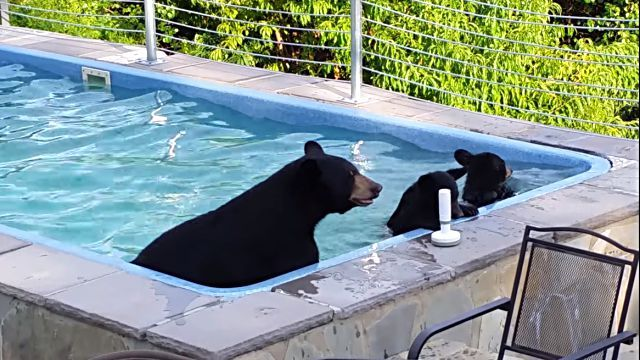 bearinpool2