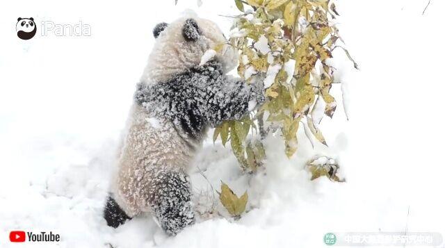snowpandas2_640