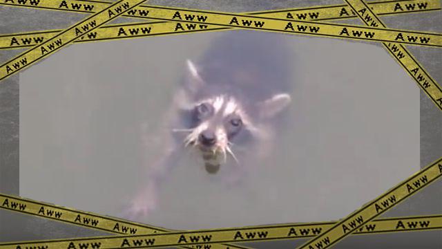 racoon1-frame