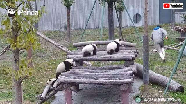pandaswalking8_640