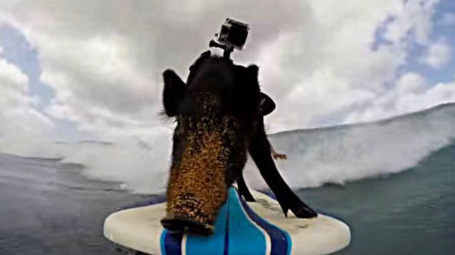 surfingpig3