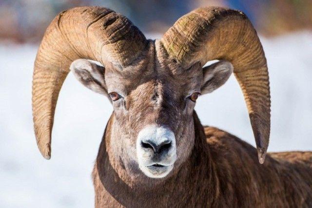 goat9_e