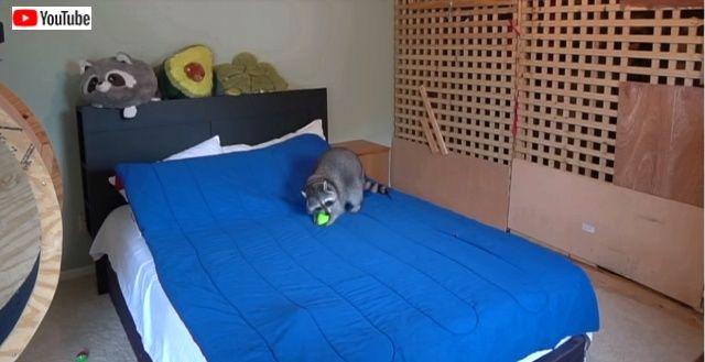 raccoonhomealone10_640