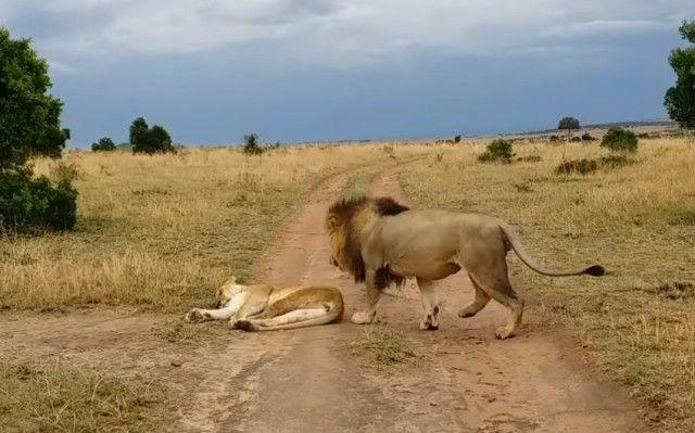 lioness0_e