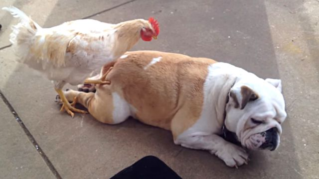 chickenmassage1