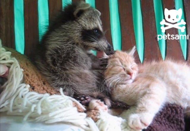 raccooncat1_e