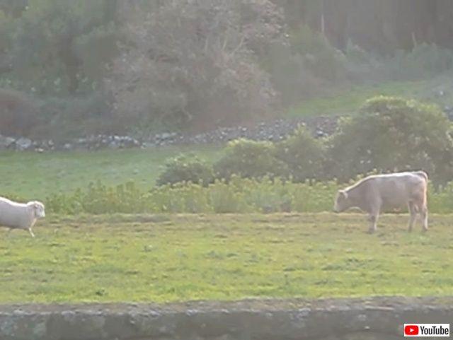 sheepnbull1_640