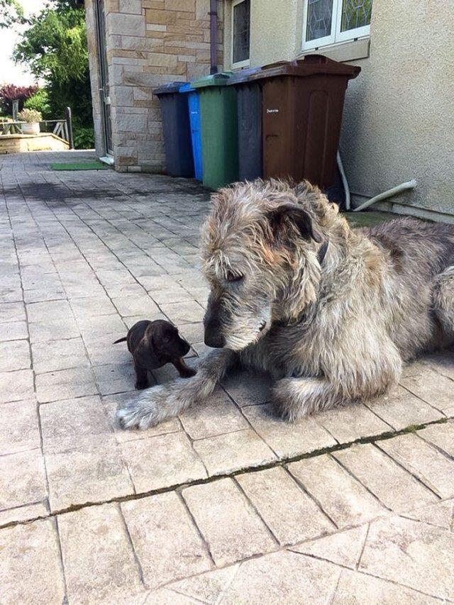 Funny-Irish-Wolfhounds-111-5c2f33a4324a6__700_e