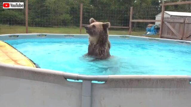 beargoes4swim2_640