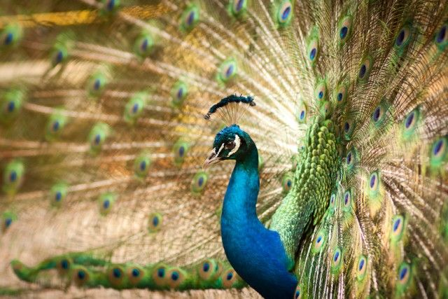 peacock-with-feathers_e